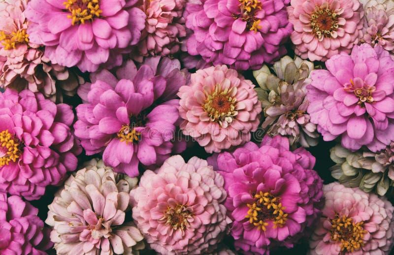 Bündel rosa Zinnias für Blumenhintergrund stockfotos