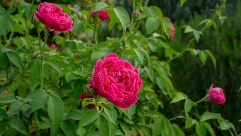 Bündel rote Blumenblattrosen blühen auf grünen Blättern auf unscharfem Hintergrund stockbilder