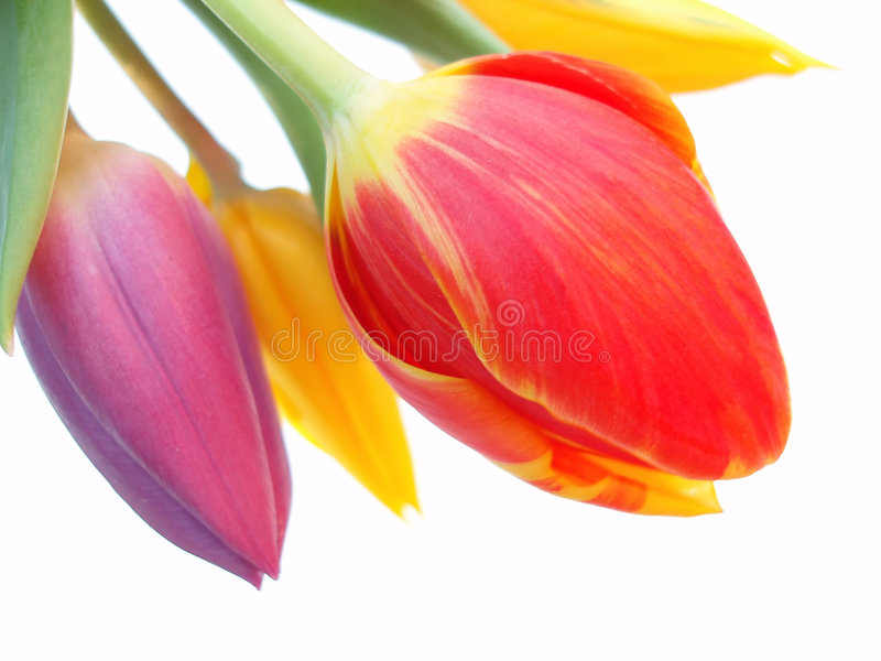Bündel rote, purpurrote und gelbe Tulpen stockfoto