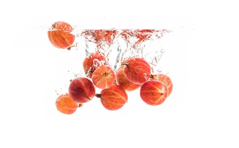 Bündel rote Stachelbeeren, die in das klare Wasser, lokalisiert auf weißem Hintergrund sinken lizenzfreies stockfoto