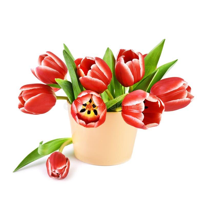 Bündel rote Tulpen mit den weißen Rändern lokalisiert auf Weiß lizenzfreie stockfotos