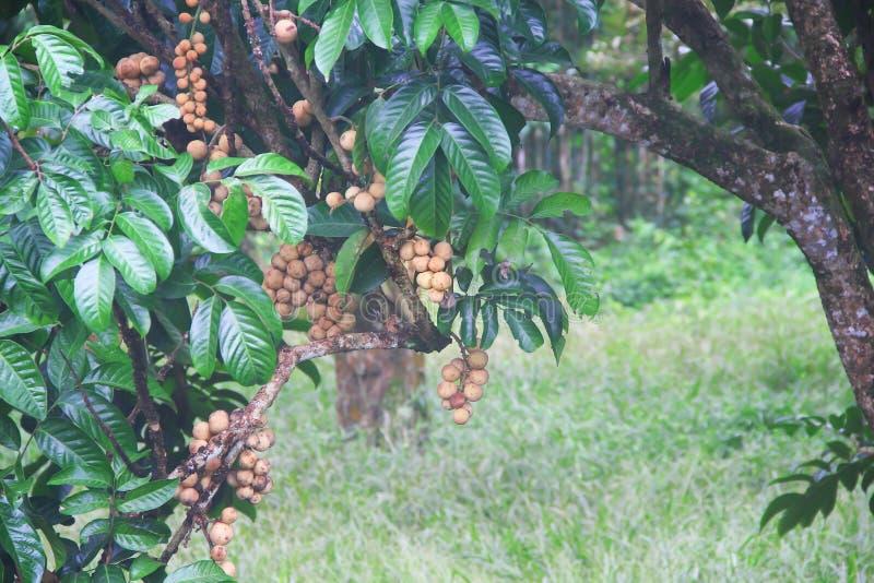 Bündel südliche langsat oder longkong Frucht, die am Naturbaum im Morgengarten hängt lizenzfreie stockbilder