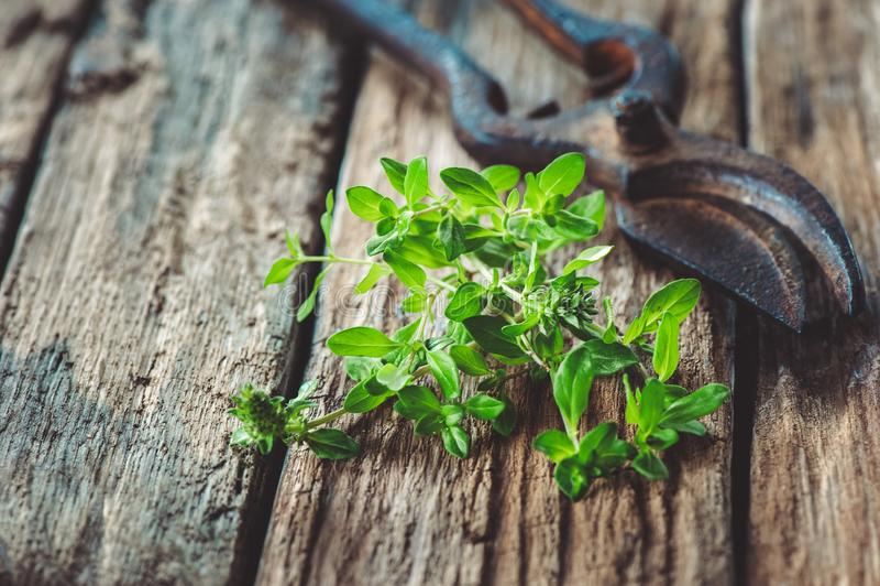 Bündel Thymian auf einem alten hölzernen Brett mit Weinlesescheren für den Schnitt des Grases im Garten Kopieren Sie Platz stockfotos