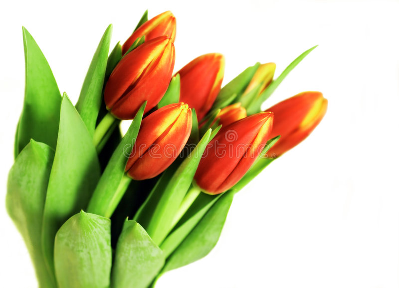 Bündel Tulpen lizenzfreie stockfotos