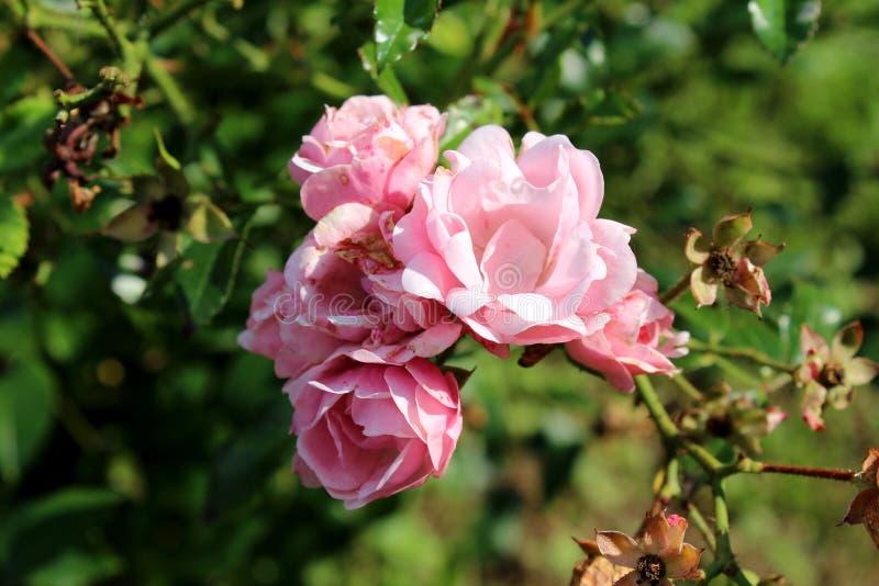 Bündel völlig offene rosa Rosen mit den frischen Blumenblättern in vorderem und in der Rückseite getrocknet stockbilder