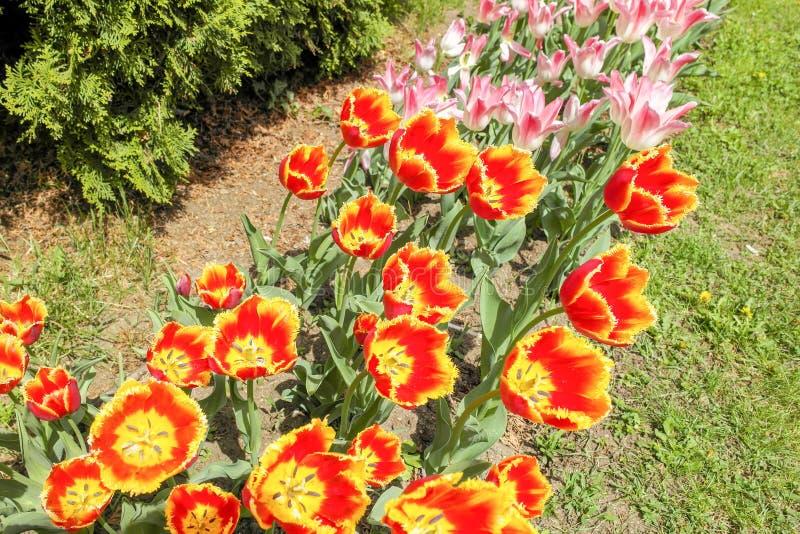 Bündel von rosa, roter und gelber Tulip Flowers stockfotografie