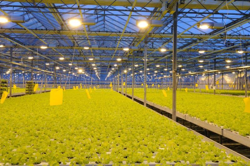 Bündeln des Kopfsalates im Gewächshaus stockfotografie