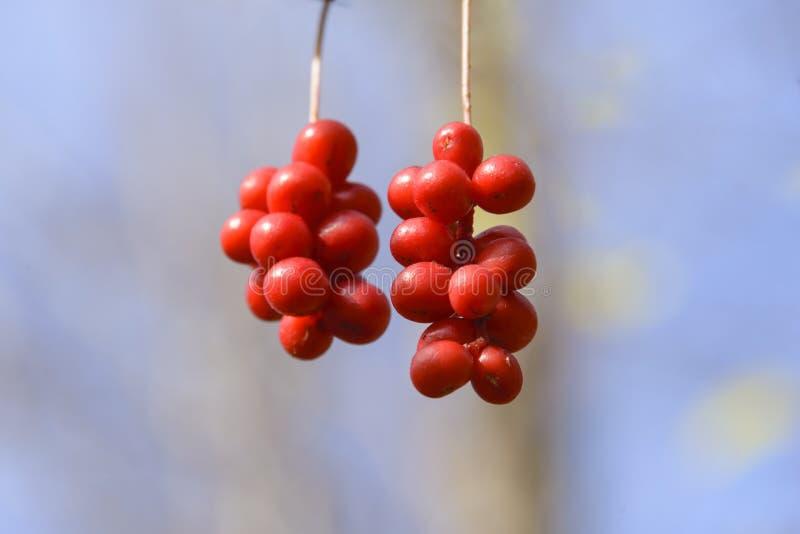 Bürstenfrucht Schizandra stockbild