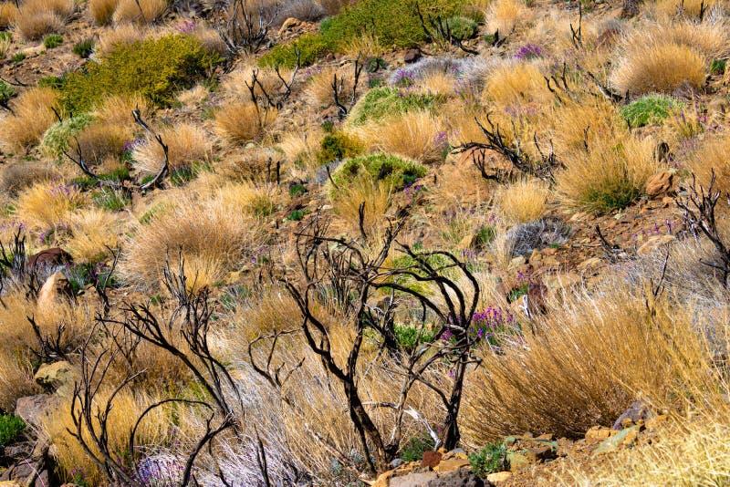 Büsche und Anlagen, die auf Vulkan in Nationalpark Teide, Teneriffa, Kanarische Inseln, Spanien - Bild wachsen lizenzfreies stockfoto