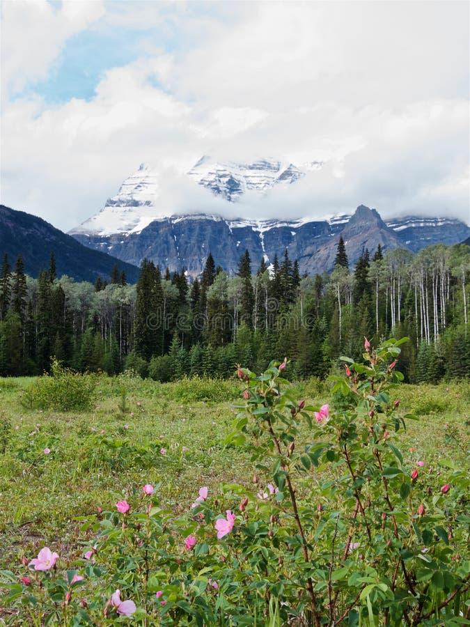 Büsche von wilden Rosen am Fuß des Bergs Robson lizenzfreie stockbilder