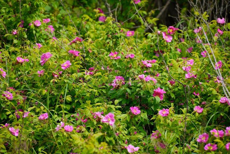 Büsche von wilden Rosen unter grünem Laub lizenzfreies stockbild