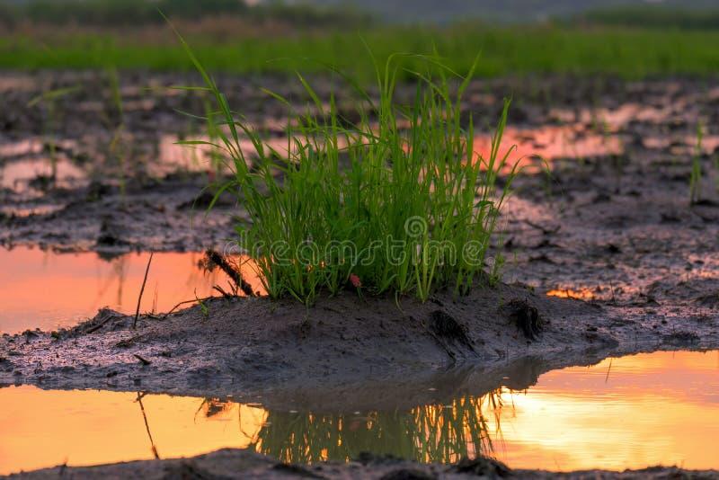 Büschel des Grases auf Bodenschlamm nahe dem Teich stockfotos