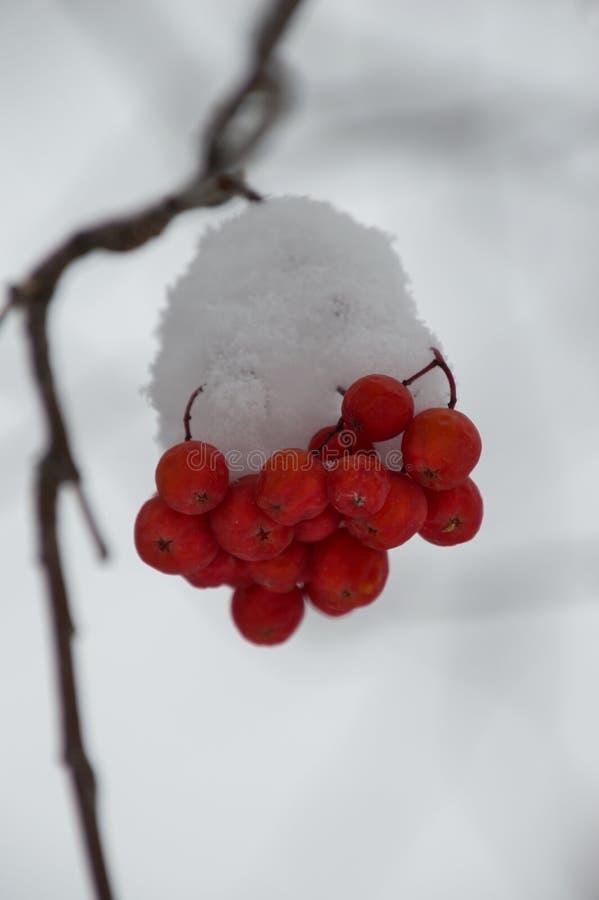 Büschel des Schnees bedeckte Berg Ash Berries Against Gray Background lizenzfreies stockbild