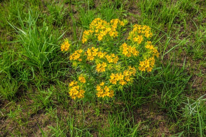 Büschel von gelben Wildflowers im Grasland lizenzfreies stockbild