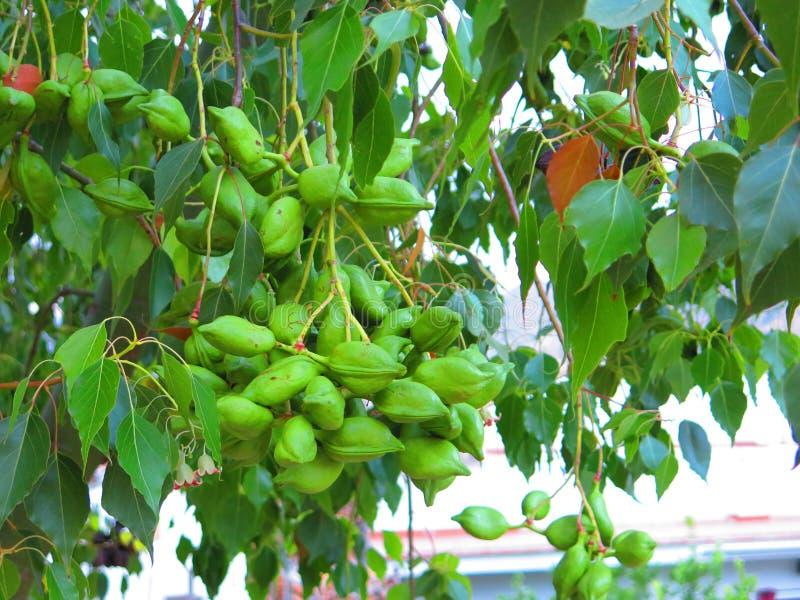 Büschel von grünen seedpods auf unbekanntem Baum stockfotos