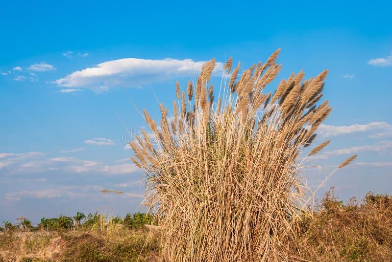 Büschel von Gras-Blumen mit blauem Himmel und Wolke lizenzfreie stockfotos