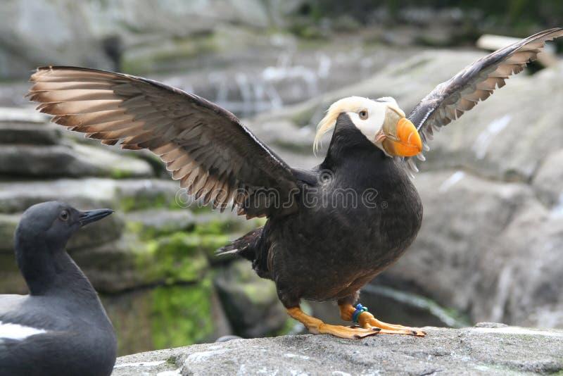 Büscheliger Papageientaucher, Flügel Schlag lizenzfreie stockfotografie