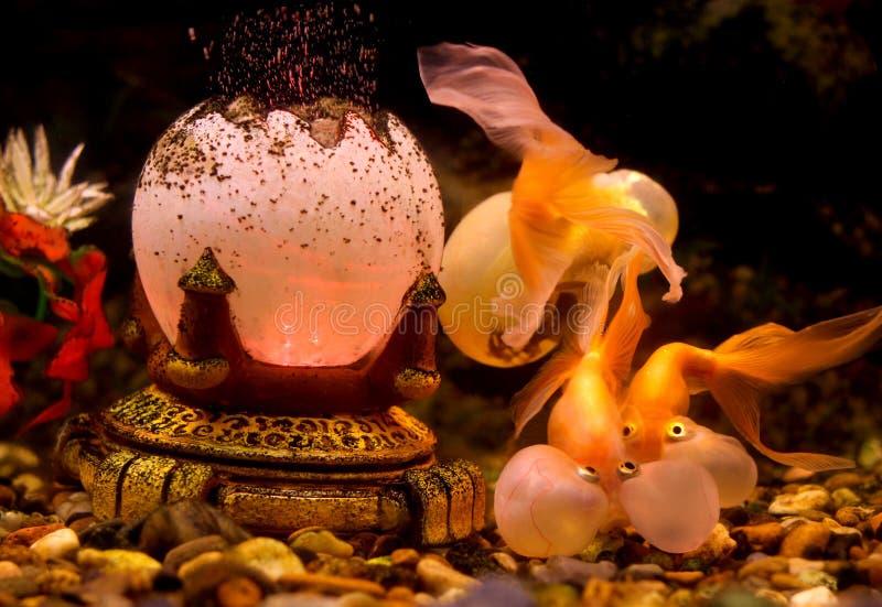 Bąbla oka Goldfish obraz royalty free