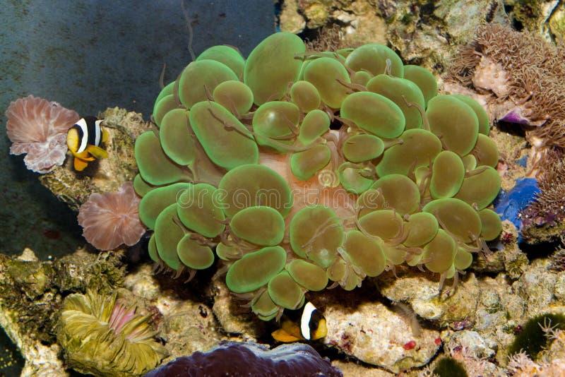 Bąbla Zielony koral obrazy stock