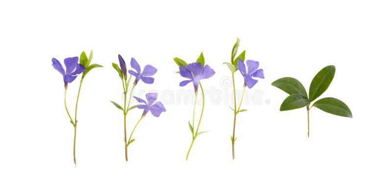 Błękitów kwiaty i liście vinca odizolowywający na białym tle obraz stock