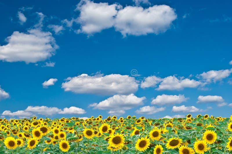 błękit śródpolni nieba słoneczniki obraz stock