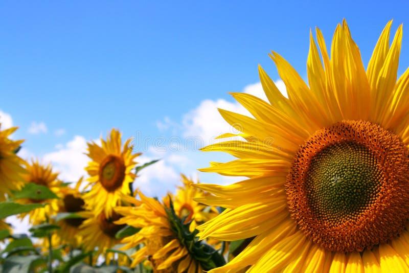 błękit śródpolny nieba słonecznik zdjęcia royalty free