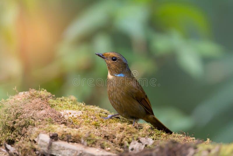 Błękit cheeked ptak zdjęcia stock