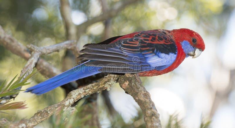 Błękit cheeked rosella w odludziu Queensland fotografia royalty free