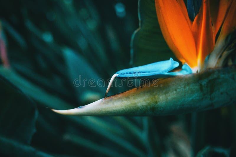 Błękit i pomarańczowy kwiat strelitzia reginae obraz stock