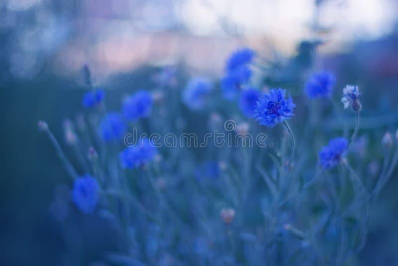 Błękit kwitnie cornflowers na delikatnym tle Cornflowers w na wolnym powietrzu zdjęcie royalty free