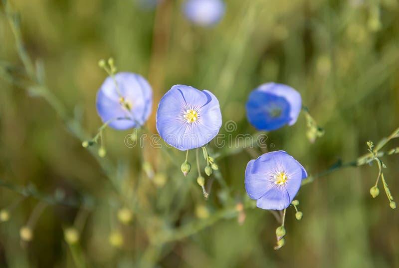 Błękit kwitnie na zielonej łące na gorącym dniu, zdjęcie royalty free