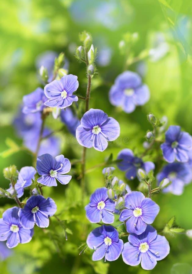 Błękit kwitnie na zielonym tle zdjęcia stock