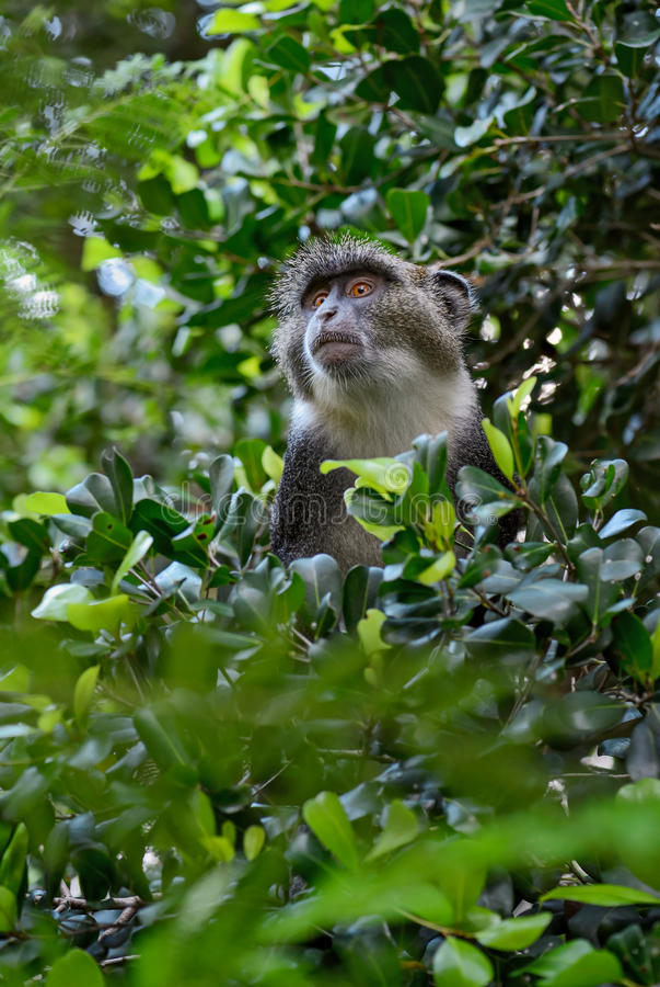 Błękit małpa - Cercopithecus mitis, Kenja, Afryka zdjęcia stock