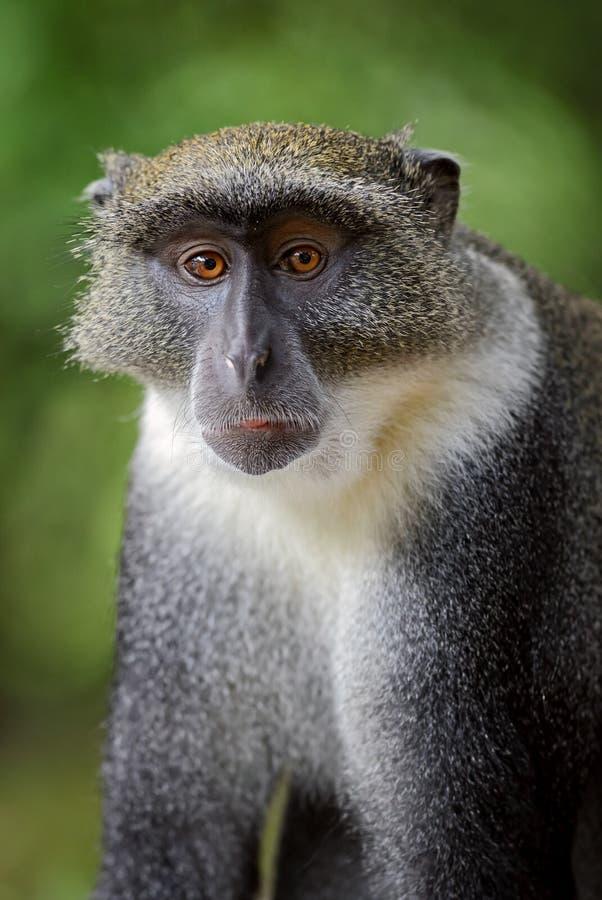 Błękit małpa - Cercopithecus mitis, Kenja, Afryka obrazy stock