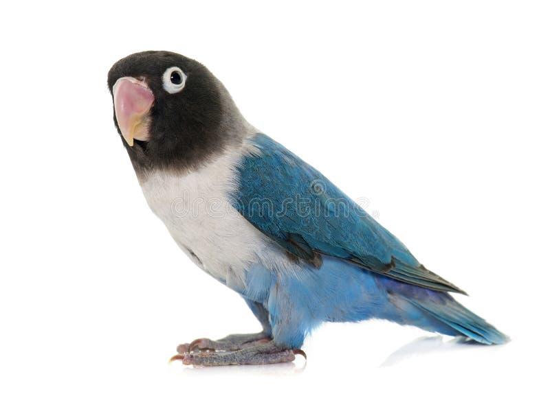 Błękit masqued lovebird fotografia royalty free