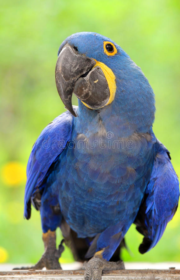 błękit papuga
