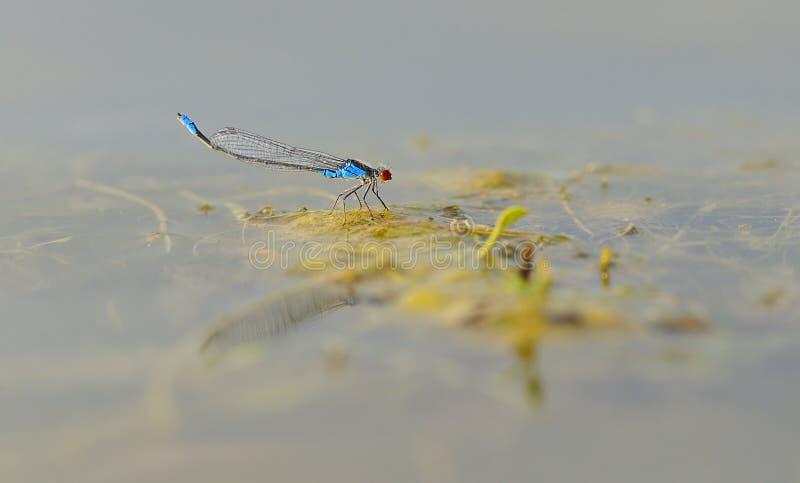 Błękit przyglądał się dragonfly obsiadanie na zielonym liściu (Erythromma najas) zdjęcie royalty free