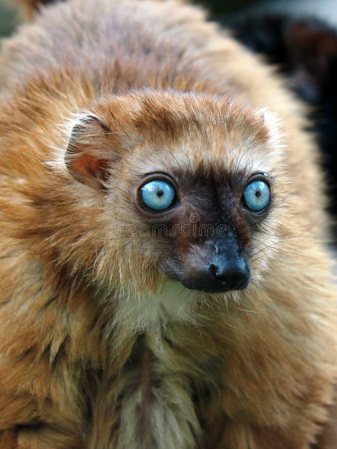 Błękit przyglądający się lemur fotografia royalty free