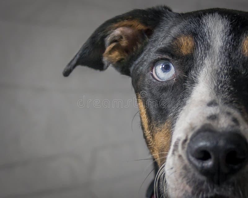 Błękit Przyglądający się pies fotografia royalty free