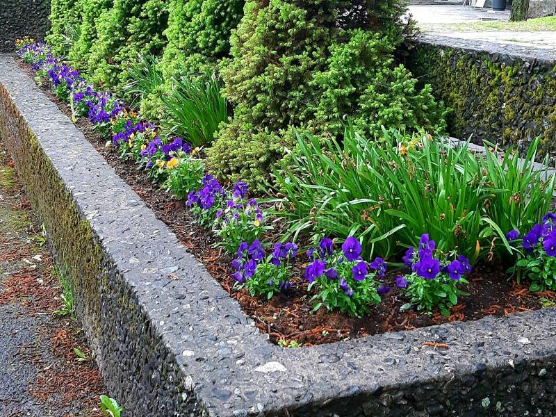 Błękit, purpura/kwitniemy z wiecznozielonym na rzędzie fotografia stock