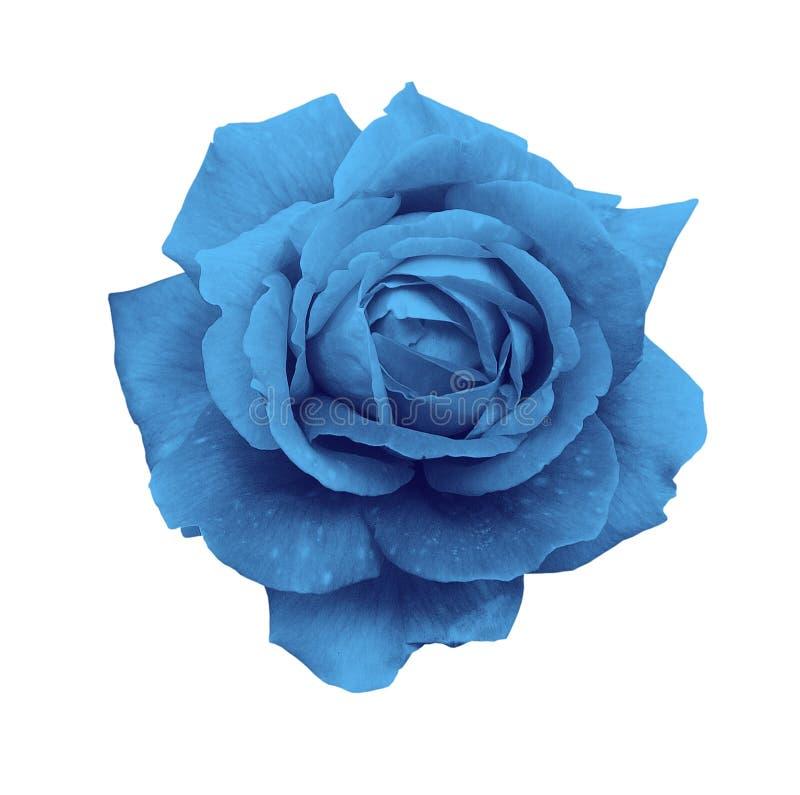 Błękit róża odizolowywa na białym tła zakończeniu zdjęcia stock