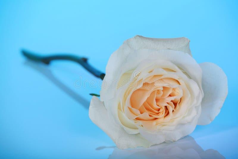 błękit róży pojedynczy biel fotografia stock
