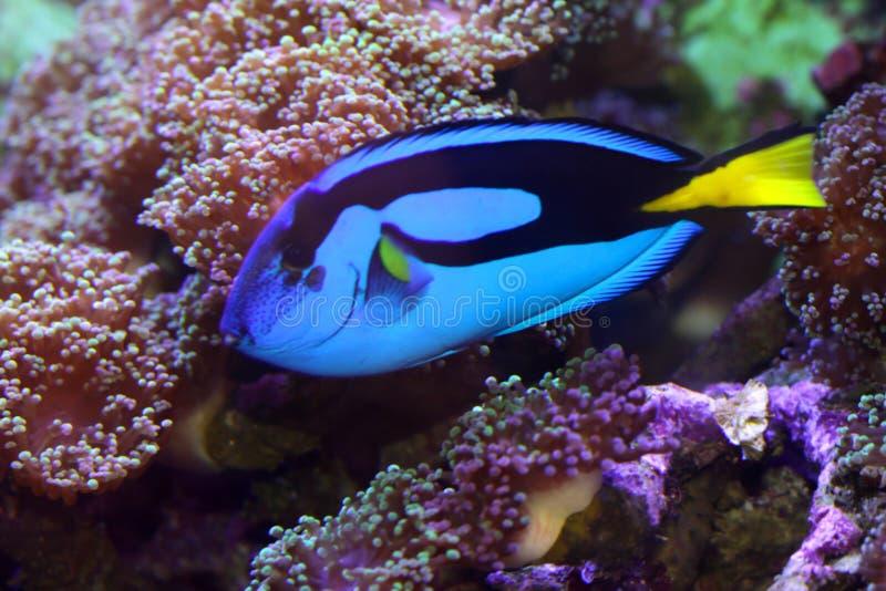 błękit ryba blaszecznica obrazy stock
