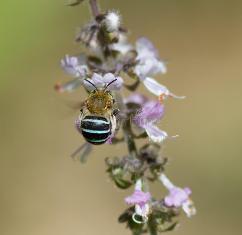 Błękit Skrzyknąca pszczoła na basilu zdjęcia royalty free