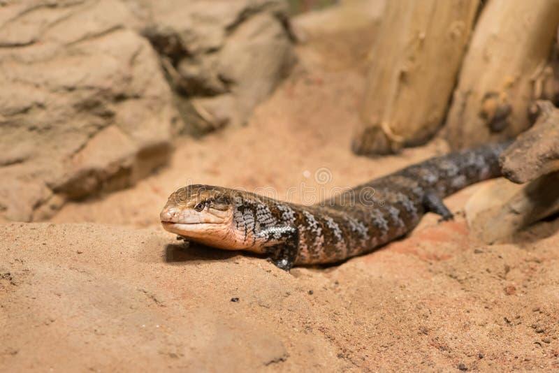 Błękit tongued australijskiej jaszczurki w zoo zdjęcia stock