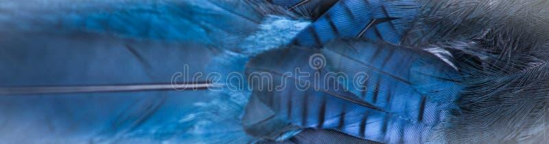 Błękit Upierza Steller ` s Jay - zakończenie - obrazy royalty free
