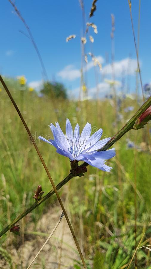 Błękita pola kwiat na niebieskiego nieba tle zdjęcia royalty free