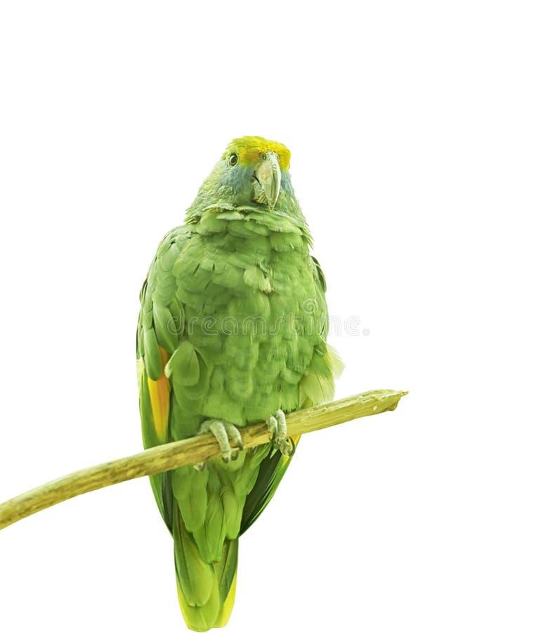 Błękitna amazonka, Amazona dufresniana, błękitna papuga, Dufresne Amazon Egzotyczny tropikalny ptak zakończenie up Odizolowywając fotografia royalty free