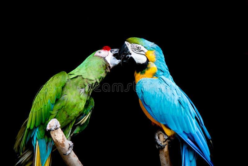Błękitna ara i zieleń wojskowego ara zdjęcie stock