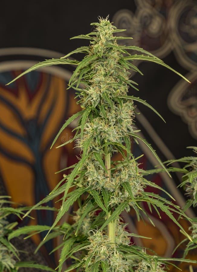 Błękitna auto mazar rozmaitość medyczna marihuana obrazy royalty free